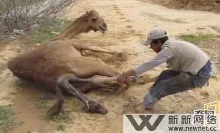 震撼!实拍男子为骆驼接生全程 拔萝卜大战累坏骆麻麻和歪果仁
